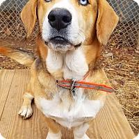 Adopt A Pet :: Ice T - Kingston, TN