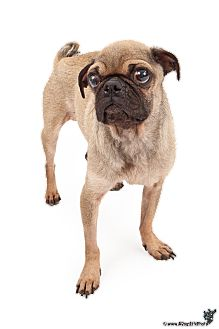 Pug Dog for adoption in Chandler, Arizona - Benjamin