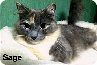 Domestic Mediumhair Cat for adoption in Medway, Massachusetts - Sage