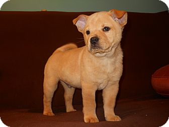 Labrador Retriever/Chow Chow Mix Puppy for adoption in Groton, Massachusetts - Travis