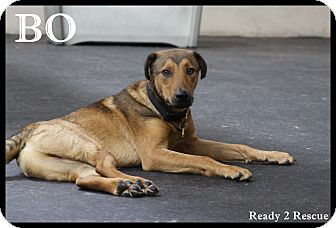 German Shepherd Dog/Hound (Unknown Type) Mix Puppy for adoption in Rockwall, Texas - Bo