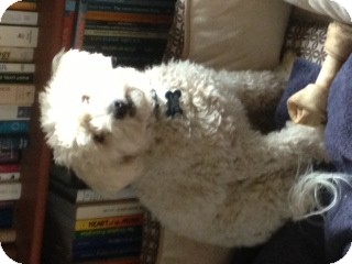 Bichon Frise Dog for adoption in Los Angeles, California - Colton