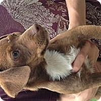 Adopt A Pet :: Honey - Hazard, KY