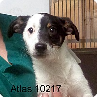 Adopt A Pet :: Atlas - baltimore, MD