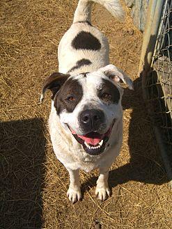 American Bulldog/Labrador Retriever Mix Dog for adoption in Nashville, Georgia - Bama