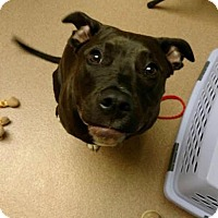 American Pit Bull Terrier Mix Dog for adoption in Columbus, Georgia - Layla 6254