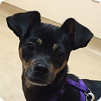 Manchester Terrier Mix Dog for adoption in Essington, Pennsylvania - Abby