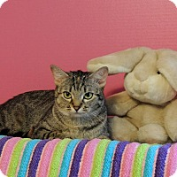 Domestic Shorthair Cat for adoption in Roanoke, Texas - Jackie