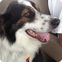 Adopt A Pet :: AJ - Rockwall, TX