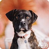 Adopt A Pet :: Scar - Portland, OR