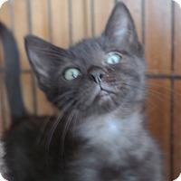 Adopt A Pet :: BABY KITTEN 4 - San Pablo, CA