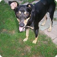 Rat Terrier/Miniature Pinscher Mix Dog for adoption in Baraboo, Wisconsin - Sinclair