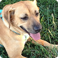 Black Mouth Cur Mix Dog for adoption in Hanover, Pennsylvania - Tawny