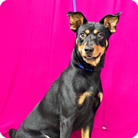 Miniature Pinscher/Cattle Dog Mix Dog for adoption in Erwin, Tennessee - Abbott