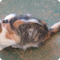 Calico Kitten for adoption in Gonzales, Texas - Tootsie