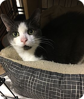 Domestic Shorthair Cat for adoption in Simpsonville, South Carolina - Trish