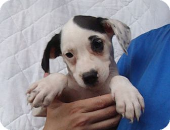 Beagle Mix Puppy for adoption in Oviedo, Florida - Winter