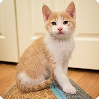 Adopt A Pet :: Pollux - Minneapolis, MN