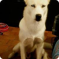 Adopt A Pet :: Koda - Clearwater, FL