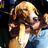 Beagle Mix Dog for adoption in Union City, Tennessee - Louie