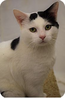 Domestic Shorthair Cat for adoption in Hillside, Illinois - Moo-GREEN EYES & CUDDLY