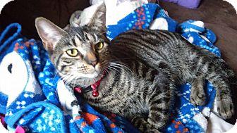 Domestic Shorthair Kitten for adoption in Middletown, Ohio - Craig