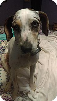 Catahoula Leopard Dog Dog for adoption in Tampa, Florida - Callie