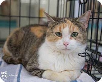 Calico Cat for adoption in Herndon, Virginia - Juliette
