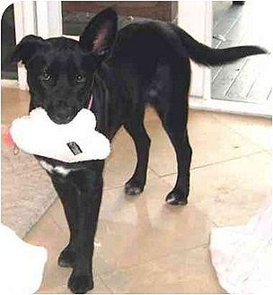 Labrador Retriever Mix Dog for adoption in West Los Angeles, California - Debbie