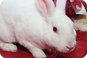 Mini Rex for adoption in North Gower, Ontario - Skittles