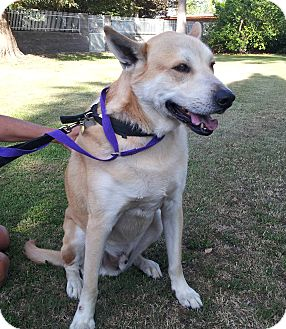 Husky/Labrador Retriever Mix Dog for adoption in Phoenix, Arizona - Bubby