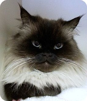 Himalayan Cat for adoption in Alexandria, Virginia - Justice