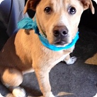 Adopt A Pet :: COLBY/How Cute Am I? - Glastonbury, CT