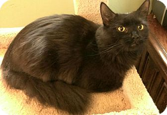 Domestic Longhair Cat for adoption in Berkeley Hts, New Jersey - Clover