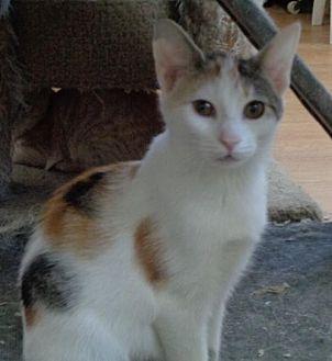 Calico Cat for adoption in Watsontown, Pennsylvania - Mallory (kitten)