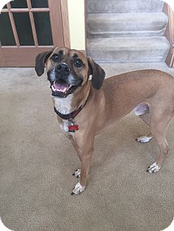 Boxer/Hound (Unknown Type) Mix Dog for adoption in Avon, Ohio - Oscar