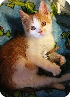 Domestic Shorthair Kitten for adoption in Louisville, Kentucky - Little Rae