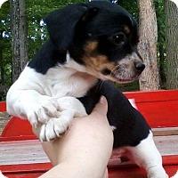 Adopt A Pet :: Ally Chi-Weenie - Bradenton, FL