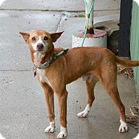 Adopt A Pet :: Fox - Lafayette, IN