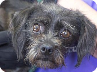 Brussels Griffon/Yorkie, Yorkshire Terrier Mix Dog for adoption in Colorado Springs, Colorado - Trixie