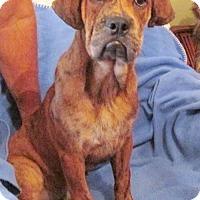 Adopt A Pet :: BOXER/ENGLISH BULLDOG CROSS - WOODSFIELD, OH