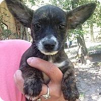 Adopt A Pet :: Fancy - Trenton, NJ