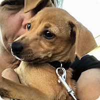 Terrier (Unknown Type, Small)/Italian Greyhound Mix Puppy for adoption in Macomb, Illinois - Ace