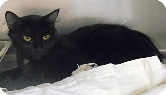 Domestic Longhair Cat for adoption in Redding, California - Olive
