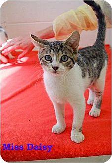 Domestic Shorthair Kitten for adoption in Huntington, New York - Miss Daisy 2016092