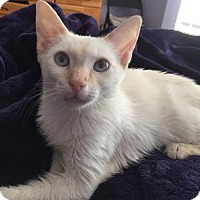 Siamese Cat for adoption in Helotes, Texas - Gunner