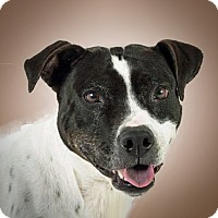 Pit Bull Terrier Mix Dog for adoption in Prescott, Arizona - Bella