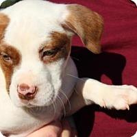 Adopt A Pet :: Zinger - St Louis, MO