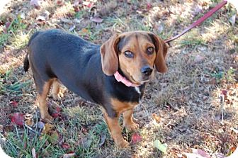 Beagle/Dachshund Mix Dog for adoption in Winder, Georgia - Reagan