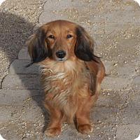 Adopt A Pet :: Pebbles - Anaheim, CA